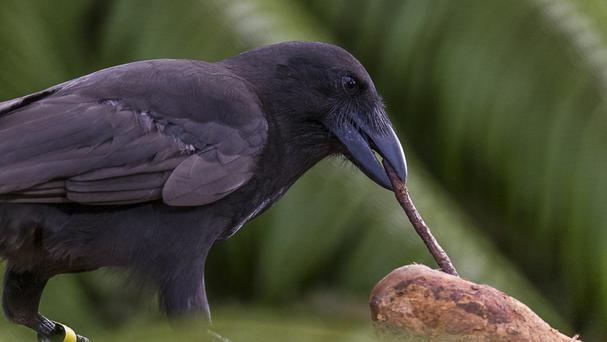 The Alala crow uses twigs held in its beak to winkle out insects and grubs from vegetation and dead wood