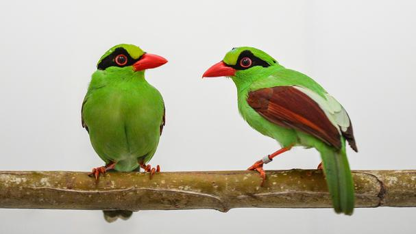 Four Javan green magpies have hatched at Chester Zoo