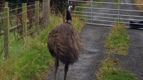 It took animal rescue officers three hours to successfully return the emu to its paddock at the property of its owner (PA/Scottish SPCA)