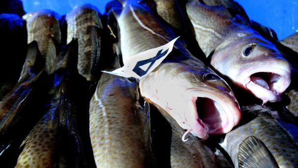 Cod use their swim bladders to make noises that establish territories and attract mates