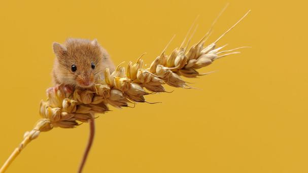 Mice 'whistle' to find a mate and to define territory