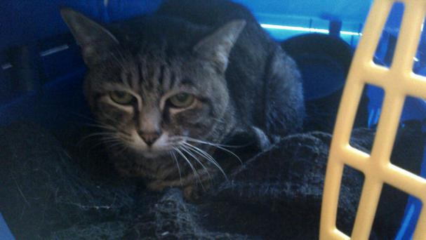 Holly the cat was found abandoned in her cat carrier (Scottish SPCA/PA Wire)