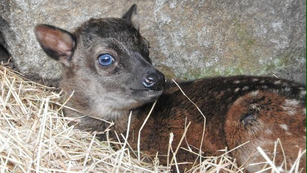 The female Visayan spotted deer was born over the weekend at Edinburgh Zoo (RZSS/Margaret Mollon/PA)