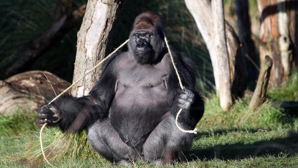 Kumbuka the gorilla managed to escape from his enclosure at London Zoo