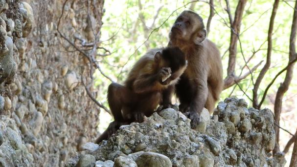 Wild-bearded capuchin in Serra da Capivara National Park, Brazil, as wild monkeys have been observed deliberately breaking flakes off stones (University of Oxford/PA)
