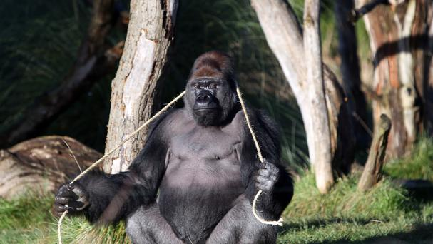 Gorilla Kumbuka got out of his den at ZSL London Zoo