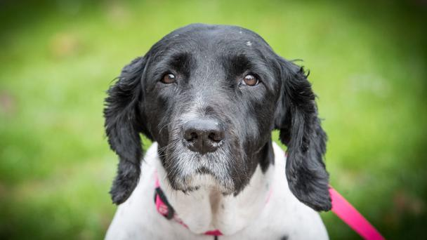 Bill, an 11-year-old springer spaniel, was so riddled with arthritis that he could barely get out of bed (PDSA/PA Wire)