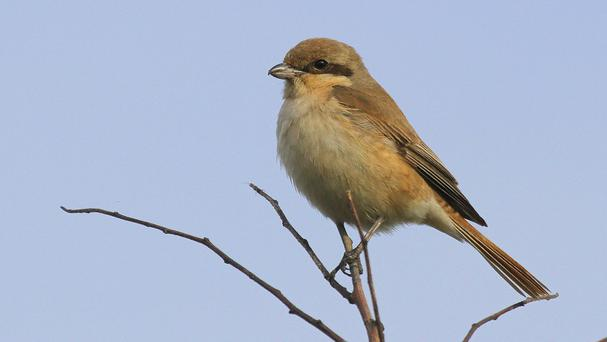 The Isabelline shrike attracted hundreds of British birdwatchers to an area near South Shields (National Trust Images/Dougie Holden/PA Wire)
