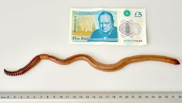 Dave the earthworm, who has has wriggled his way into the record books after surfacing in Cheshire (Natural History Museum/PA)