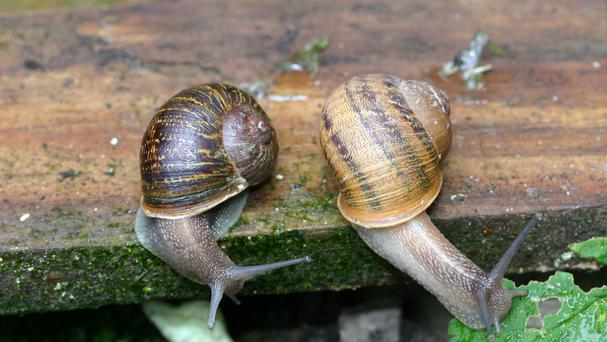 Two potential mates have been lined up for a lonely snail after a scientist appealed to the public to help find a partner for the mollusc whose shell spirals in the wrong direction