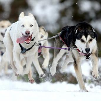 Reports have been made that two huskies have caused traffic disruption in Belfast.
