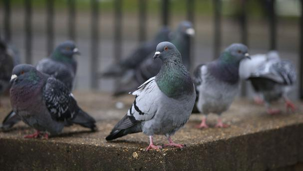 The pigeons moved in after two hotels were demolished in 2010 to make way for the £600 million One Kensington Gardens development