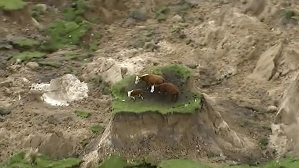 Three cows are stranded on an island of grass in a paddock that had been ripped apart following an earthquake near Kaikoura (AP)