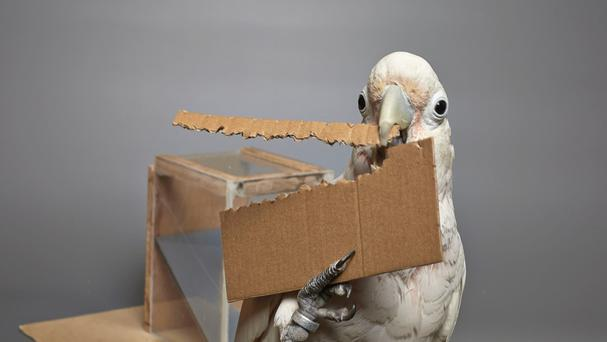 Goffin's cockatoo Dolittle making a tools from unfamiliar materials (University of Oxford/PA)