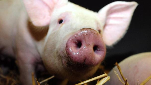 Pigs can be optimistic or pessimistic, new research suggests