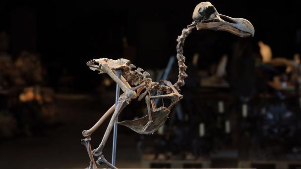 An almost complete dodo skeleton at Summers Place Auctions in Billingshurst, West Sussex - the first of its kind to come up for sale in nearly 100 years