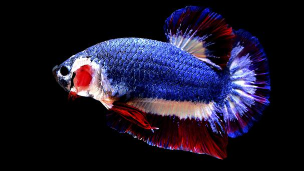 The prized Betta fish swims in a tank in Nakhon Pathom, Thailand (AP)