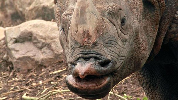 Indian rhino Bertus, from Edinburgh Zoo, had a tooth operation (Scottish Fire and Rescue Service/PA)