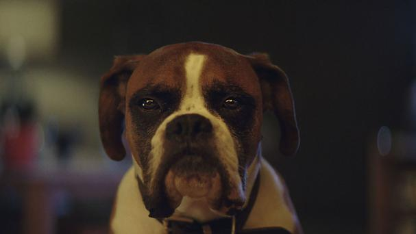 Buster the boxer is winning hearts in the John Lewis Christmas ad