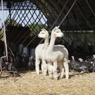Two of the alpacas guard a flock of turkeys on the Copas Turkeys farm near Maidenhead, Berkshire