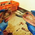Kippers being prepared before being placed in the smoke room at Crasters factory L Robson and Sons Ltd in Northumberland