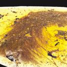 A piece of feathered dinosaur tail which has been found trapped in amber