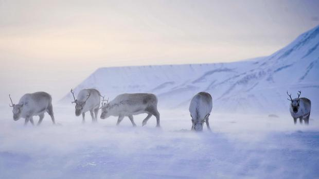 Arctic reindeer are becoming smaller and lighter due to climate change impact on their food supplies, scientists warn