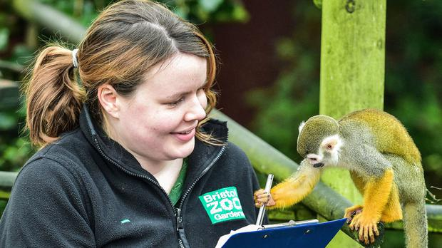 A squirrel monkey shows interest in the pen of mammal keeper Olivia Perkins as she conducts the annual census at Bristol Zoo Gardens