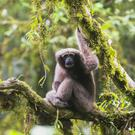An adult female Skywalker hoolock gibbon or Gaoligong hoolock gibbon (Hoolock tianxing), a new species identified in China (Zoological Society of London/PA)