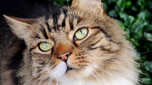Experts have created a special five a day diet for cats