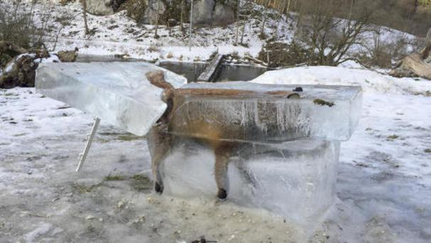 A block of ice containing a drowned fox who broke through the thin ice of the Danube river in Fridingen, southern Germany (Johannes Stehle/dpa via AP)