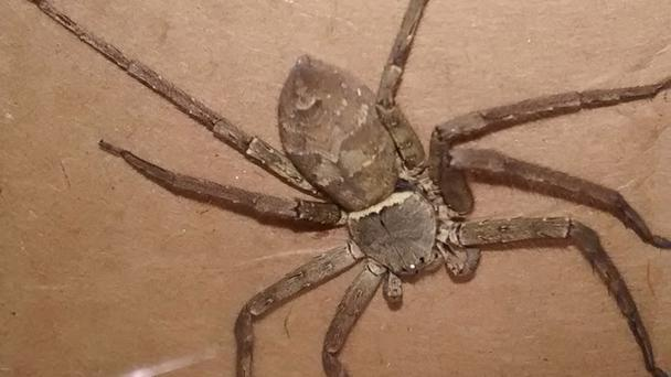 The giant Huntsman spider was found in a shipping container (RSPCA/PA)