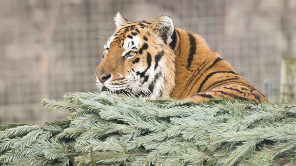 The tiger was recaptured by police