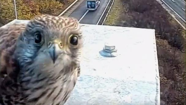 A kestrel on a CCTV mast by the M5 in Gloucestershire.