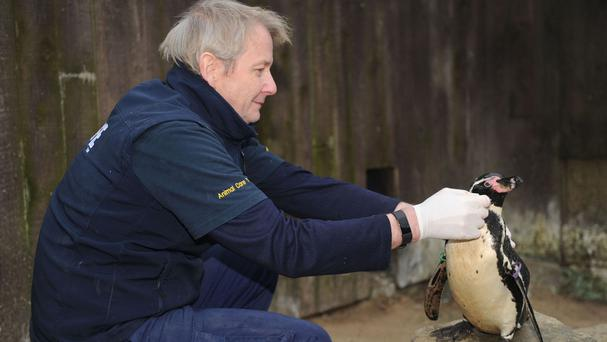 Dippy the Humboldt penguin with aquarist Dave Warriner (Great Yarmouth Sea Life Centre/PA)