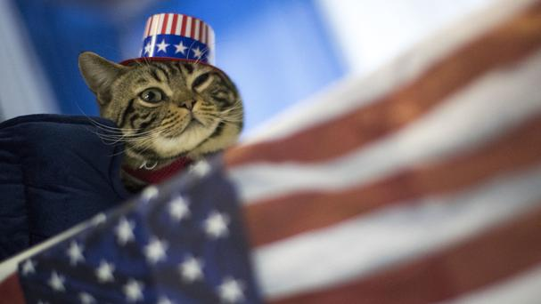 Uno, an American shorthaired cat from Trenton, New Jersey, flies the flag during the meet the breeds companion event to the Westminster Kennel Club Dog Show (AP)