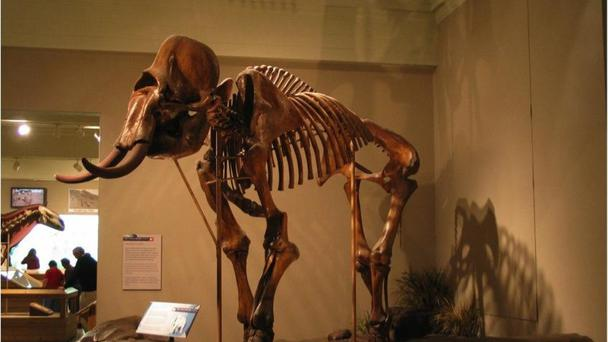 An intact woolly mammoth skeleton on display at the Carnegie Museum of Natural History in Pittsburg, Pennsylvania