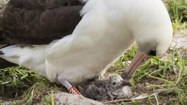 Wisdom and her new chick at the Midway Atoll National Wildlife Refuge (Naomi Blinick/USFWS Volunteer via AP)