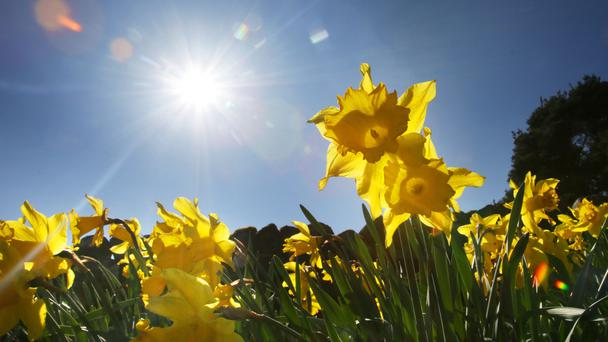 Daffodils in the Scottish Borders as Easter holiday temperatures will spring to summertime heights this weekend as the hottest day of the year is expected to arrive on British shores.