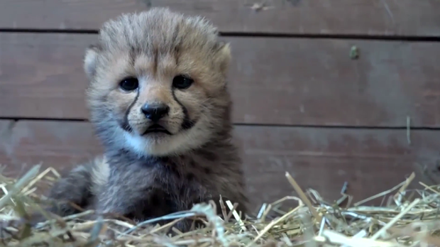 You Won T Be Able To Tell If These Baby Cheetahs Are Cuddly Toys Or