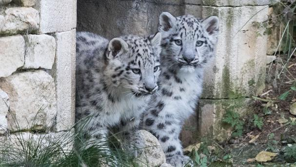 Two female snow leopard cubs make an appearance at Twycross Zoo (Aaron Chown/PA)