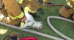 A dog being revived by firefighters in California (Bakersfield Fire Department/Facebook)