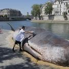 Tim Van Noten, a member of a Belgian artists' collective, pours water on a real-looking, life-size whale sculpture is displayed along the Seine River in Paris (Michel Euler/AP)
