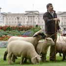 Sheep in Green Park, London, which are there for a conservation trial
