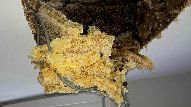 The hive produced so much honey it was dripping through the ceiling (Ecclesiastical)