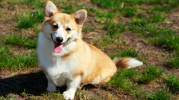 Welsh Corgi Pembroke on the grass in summer sunny day (DevidDO/Getty)