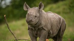 Ike the two month-old rhino calf