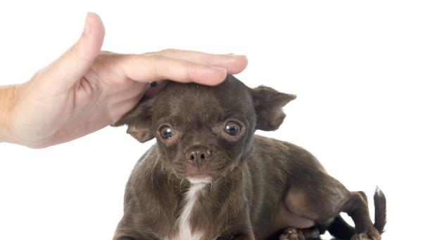 Chihuahua being petted