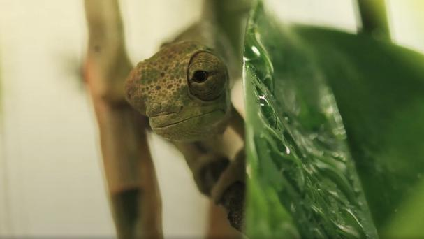 The chameleons are only 5cm long (Chester Zoo)