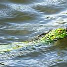 Green Iguana swimming in a lagoon (passion4nature/Getty/PA)